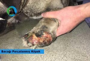 Kastamonu bacağı parçalanmış köpek